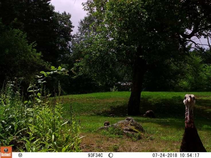 turkeys in back yard
